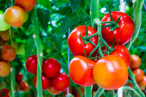 Nằm mơ thấy quả cà chua đánh con gì chắc ăn nhất?