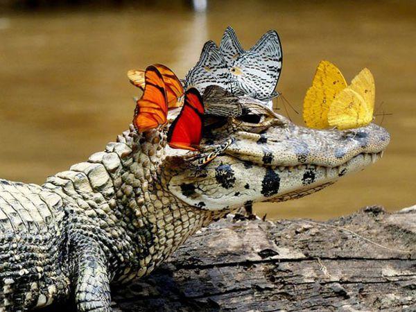 Mơ thấy cá sấu đánh con gì chắc ăn, là điềm đen hay đỏ?