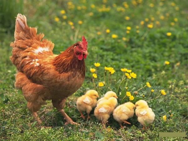 Mơ thấy gà là điềm gì, đánh con số nào chắc chắn phát tài?
